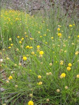 Yellow Burr Daisy. Phot: L. Padgham